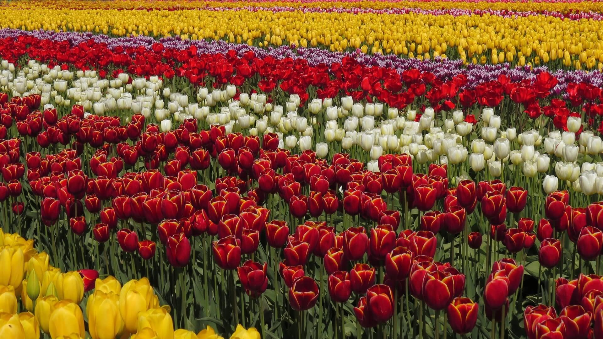 Flores Rodrigo Amaral
